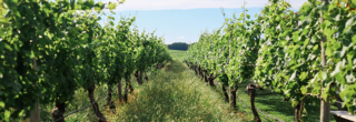 Vineyard on Long Island
